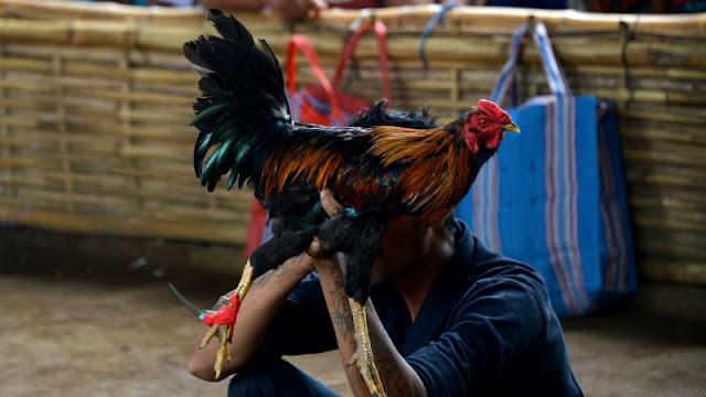 Penjudi Sabung Ayam digerebek Polisi Tewas