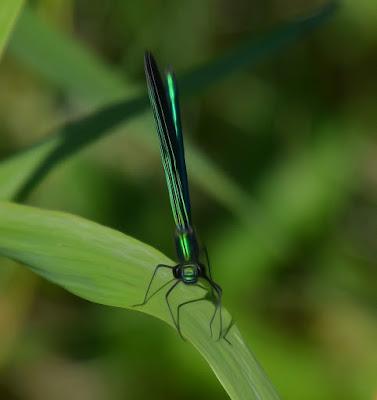 Libelle, Odonata, Libellen, dragonfly, Libélula, libellule, Стрекоза, vaterpas, raspoloženje, либела, Libellenlarven, Libellenarten, libellenbilder, Vesilood,