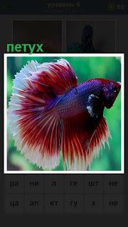 В воде плавает разноцветная рыба петух с распущенным хвостом