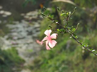 Rose-mallow