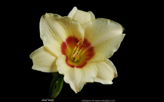 http://wallpaper-4k-tapety.blogspot.com/2015/03/liliowiec-hemerocallis-flower.html