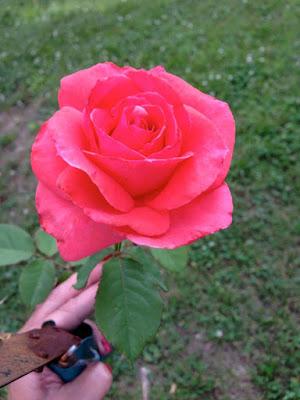 Camelot rose