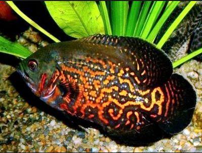 Harga Ikan Oscar Batik (Tiger)