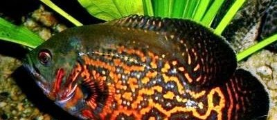 Kisaran Harga Ikan Oscar Batik (Tiger) Sekarang Ini