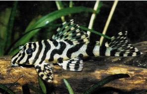 Ikan Sapu Sapu Leopard Frog pleco