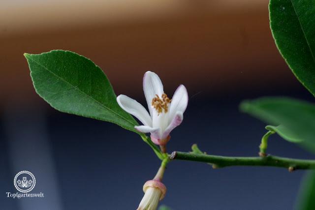 Zitronenbaum verliert im Winter Blätter - Gartenblog Topfgartenwelt