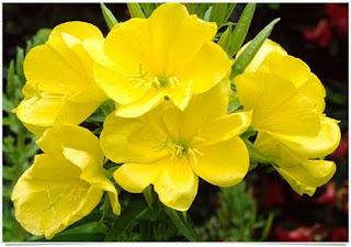 Floarea de la ora 8 sau primula de seară