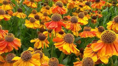 Florecen en verano y atraen polinizadores. Helenium de jardin