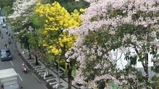 Kayak gini nih, suasana Negeri Sakura di Surabaya karena Pohon Tabebuyanya