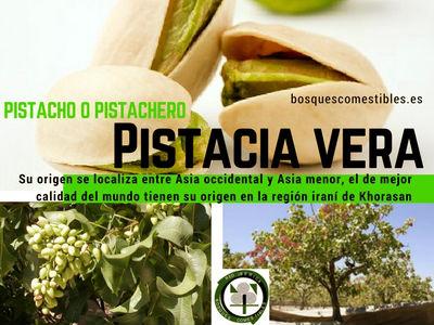Pistachero o pistacho, Pistacia vera, Descripción, Cultivo del árbol