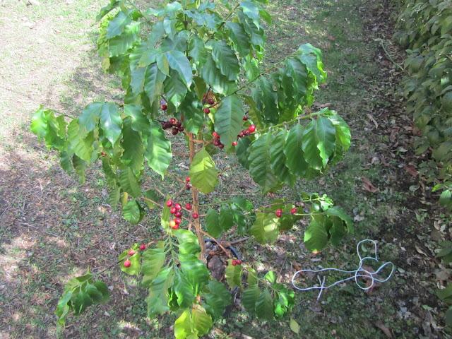 Pianta di Caffè Coltivata in Vaso
