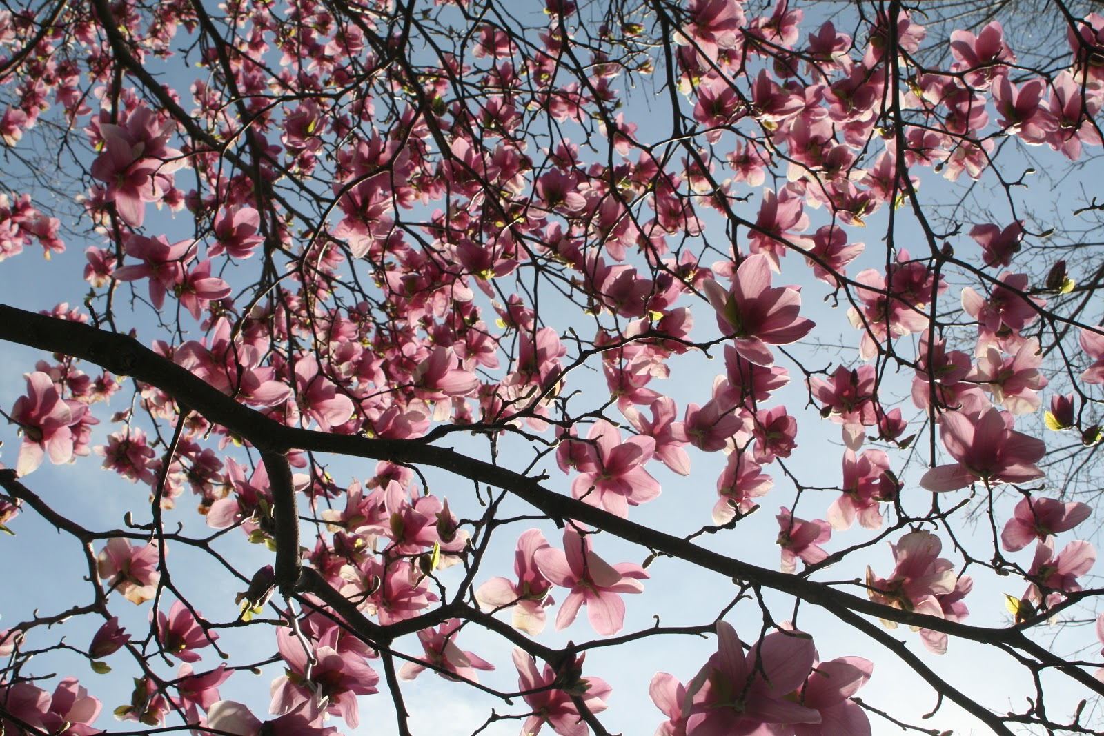 Reed S Garden Ramblings An Amazing Spring For Magnolias