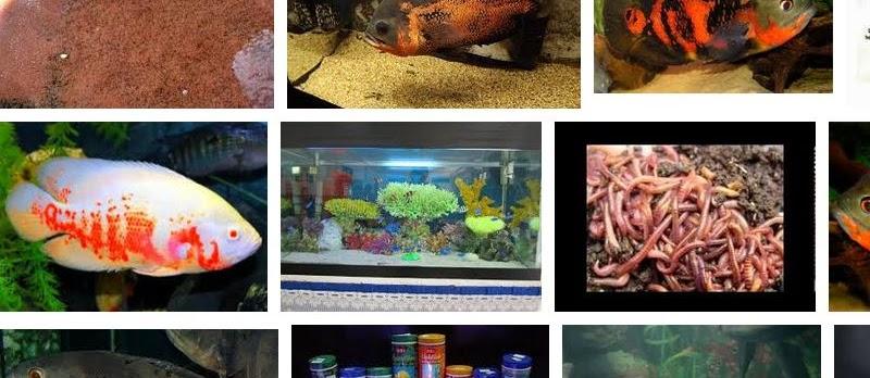 Makanan Ikan Oscar untuk Segala Umur Sekaligus Warna