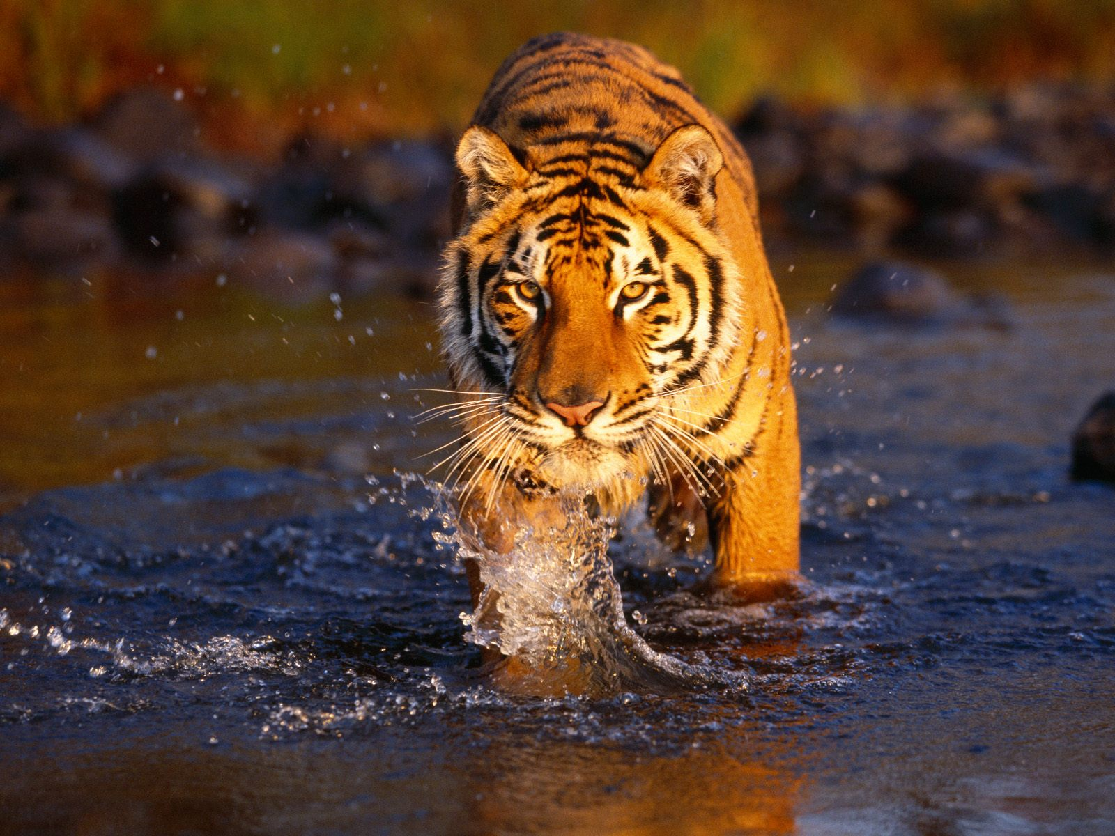 Japan Tigers Hd Wallpapers Tiger Wallpaper For Desktop Backgrounds Free