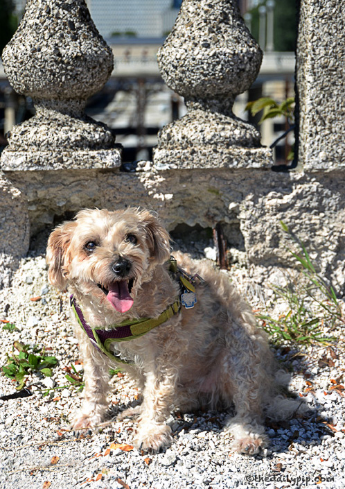 Ruby, the rescued Yorkie-Poo, explores dog friendly Grant Park and takes a #sundayselfie