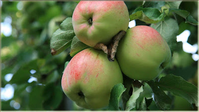 gambar wallpaper apel hijau