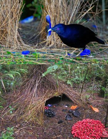 burung bower jantan membangun sarang idaman Belajar Dari Burung Bowerbirds Jantan