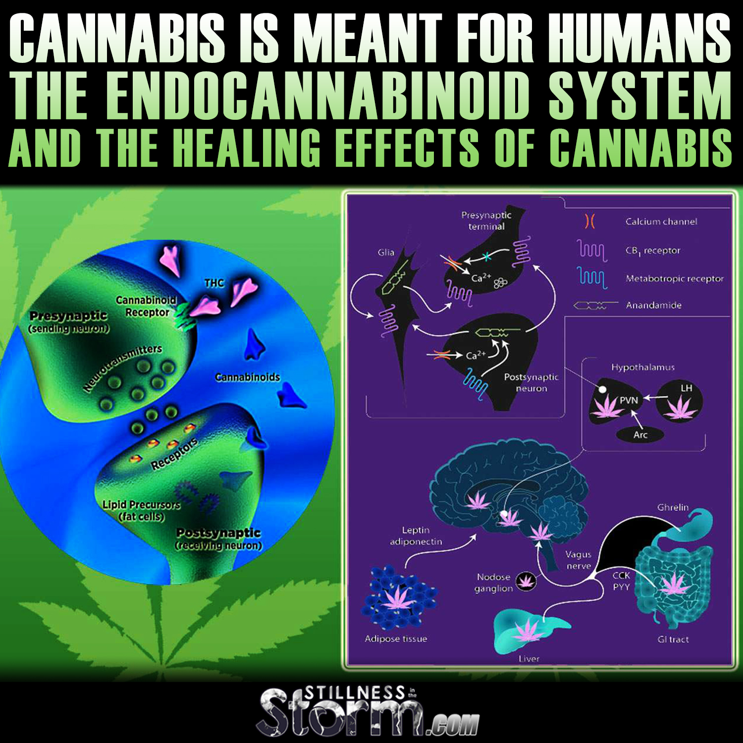 the health effects of marijuana on humans This report summarizes the current state of evidence regarding what is known about the health impacts of cannabis and cannabis-derived products, including effects related to therapeutic uses of cannabis and potential health risks related to certain cancers, diseases, mental health disorders, and injuries.