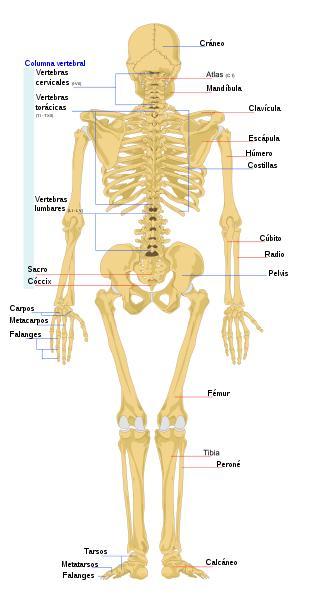 Imagen del Esqueleto Humano parte posterior (vista trasera) señalando sus partes