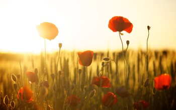 Wallpaper: Poppies in the Sunset