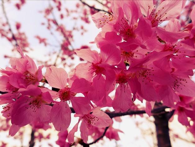 Gambar Bunga Sakura Yang Indah  Kumpulan Gambar