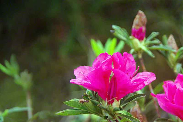 Bright ping azalea flowers