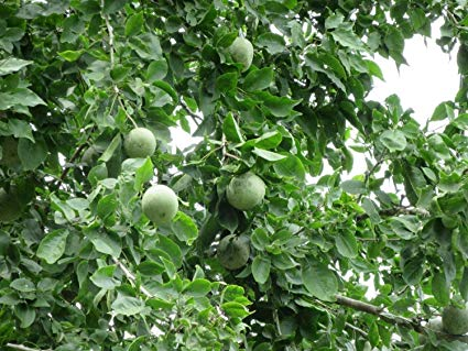 Bael Fruit Amazing Benefits (Wood Apple)