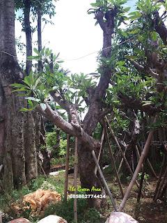 JUAL POHON KAMBOJA FOSIL | KAMBOJA BATANG BESAR | KAMBOJA TUA | KAMBOJA BALI | KAMBOJA PING | KAMBOJA MERAH KECAP | KAMBOJA KUNING | POHON KAMBOJA MURAH | JASA PEMBUATAN TAMAN MURAH | TANAMAN HIAS | TUKANG TAMAN | JASA TANAM RUMPUT | GAJAH MINI | JEPANG/PEKING | SWISS | GOLF | GREEN | GAJAH BIASA |  POHON PELINDUNG | POHON PENEDUH