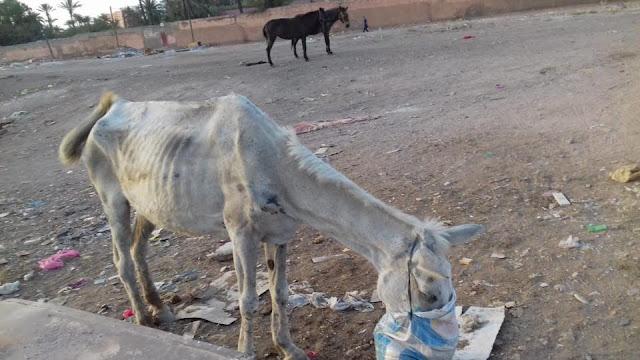 Mule maltraitée par son propriétaire/ Le code pénal marocain condamne les maltraitances animales et pourtant personne ne réagit