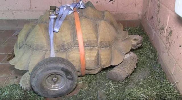 Tortuga usa silla de ruedas luego de muchas relaciones