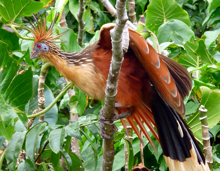 Hoatzin Bird Basic Facts Amp Lovely Pictures Beauty Of Bird