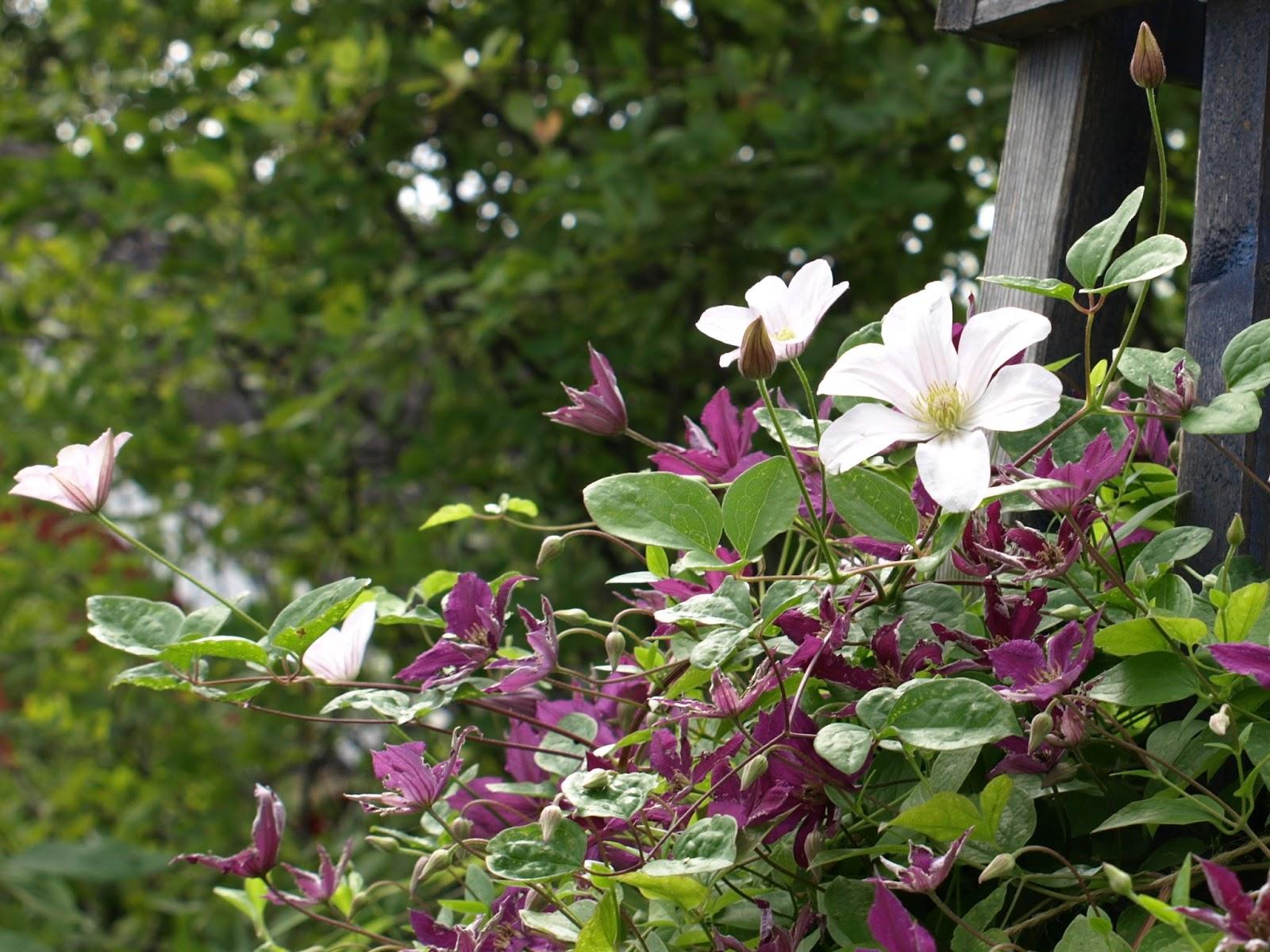 Trädgård i Torslanda: Clematis Huldine