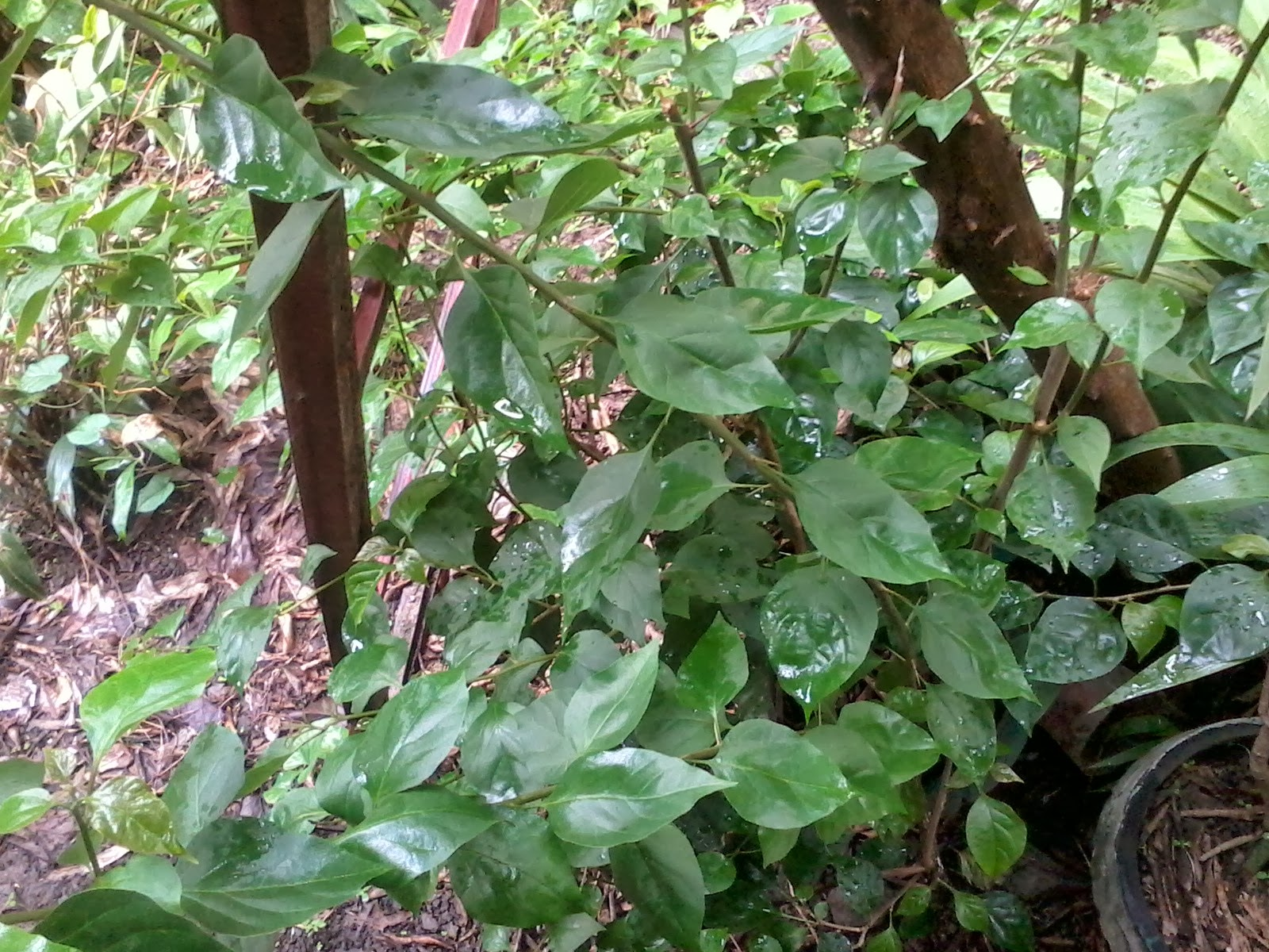 Rovie Ann Gerez Plants Found In Leyte Normal University