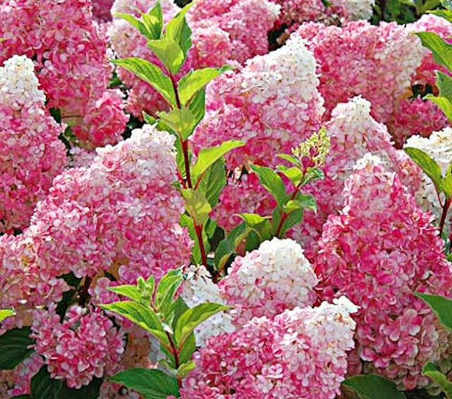 My Virtual Garden: Hydrangeas