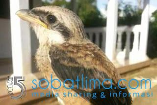 cara menjinakkan burung,agar burung cepat jinak,cara agar burung liar jinak.burung liar cepat gacor,muda hutan,cendet,kacer murai batu