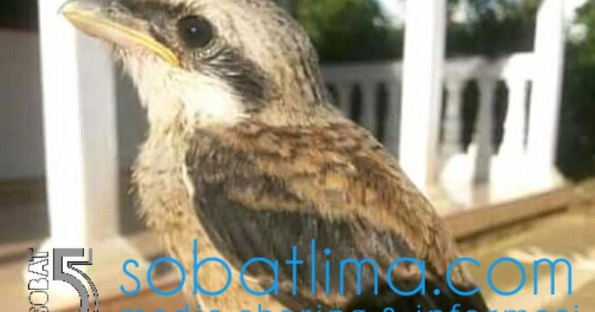 Cara Cepat Membuat Burung Liar Tangkapan Jadi Jinak Dan Gacor Sobat Lima