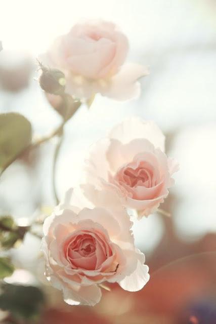 Whitesmoke Roses