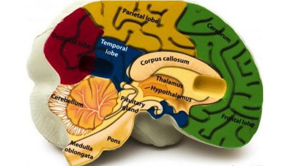 Bagian Bagian Otak dan Fungsinya