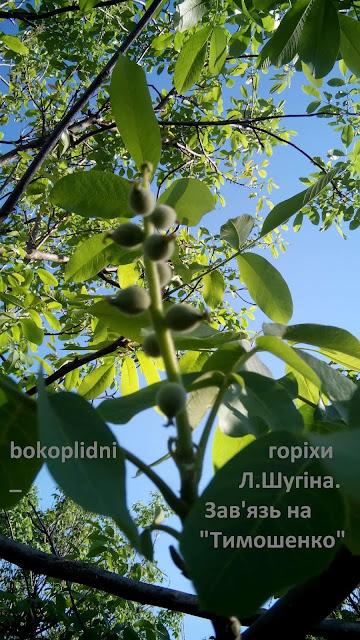 саджанці горіха низькорослого