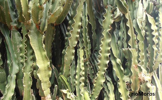 candelabro africano Euphorbia ingens