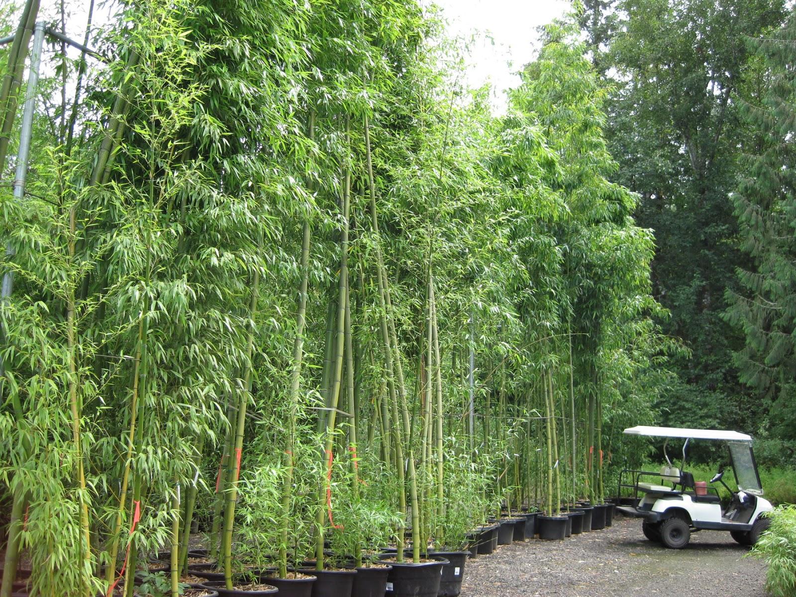 Bamboo Grove Photo Bamboo Garden Screens