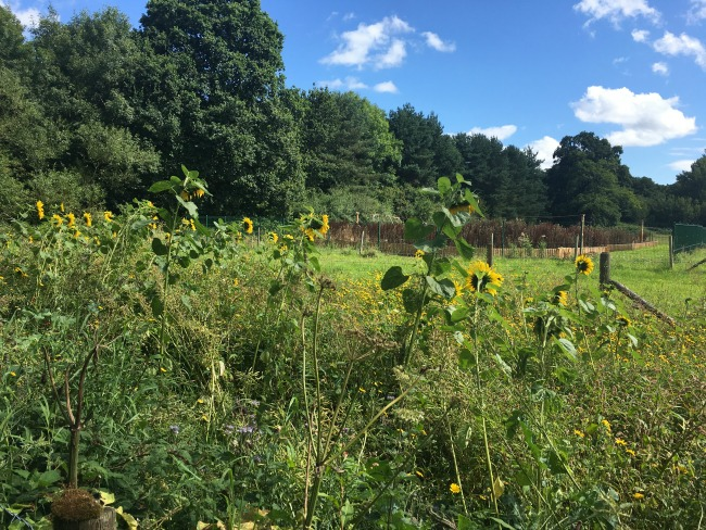 sunflowers-in-a-field-at-forest-farm-cardiff