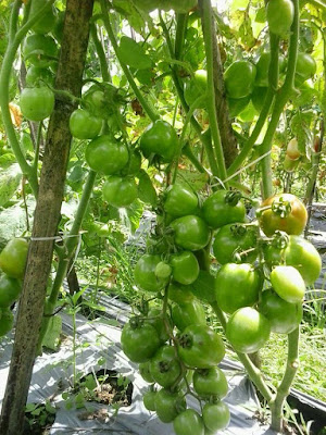 Tomat-Natama-super-f1-di-Jakarta