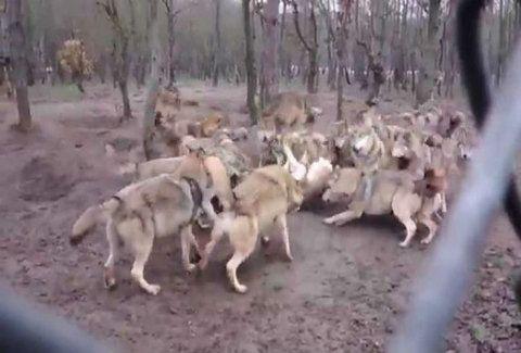 Σοκαριστικό βίντεο: Μια αγέλη λύκων την πέφτει σε έναν λύκο (Προσοχή, σκληρές εικόνες)