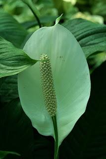 Spathiphyllum - Fleur de lune - Faux arum - Voile blanche