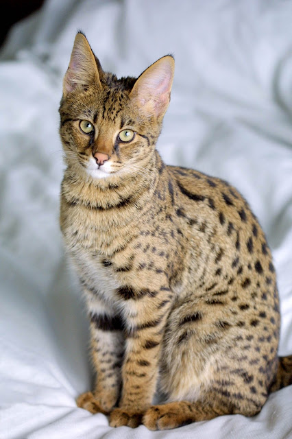 Animal Planet, The elegant savannah cats