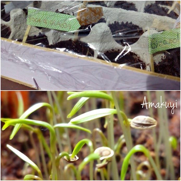 semillero con hueveras de cartón con papel film para hacer de invernadero