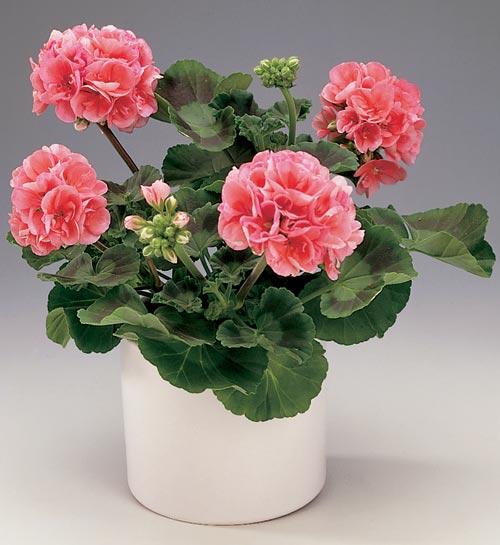 Flowers for everyone!: Geranium (Pelargonium Zonale)