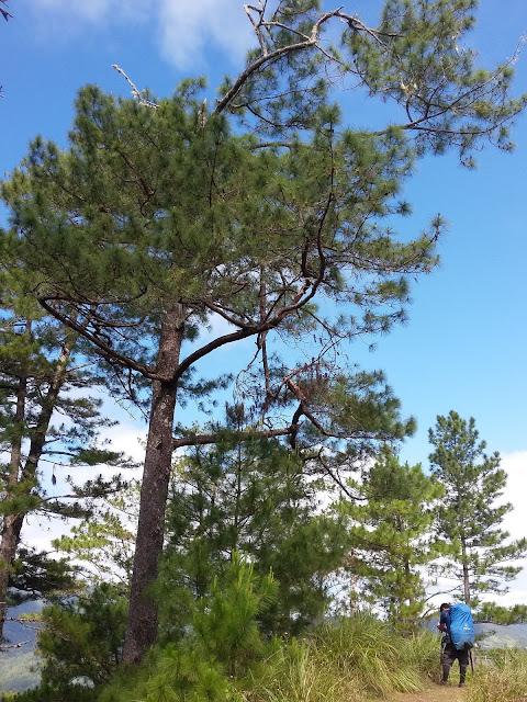 Pine trees in Barlig side