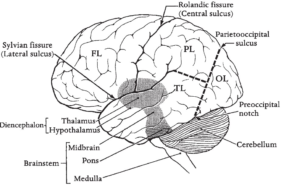 anatomy made easy structure of human brain and function